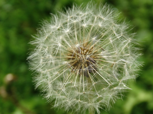 War on Dandelions